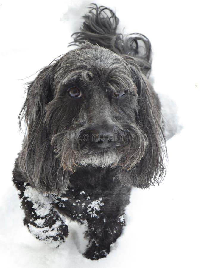 Zwarte hond op witte sneeuw stock foto's