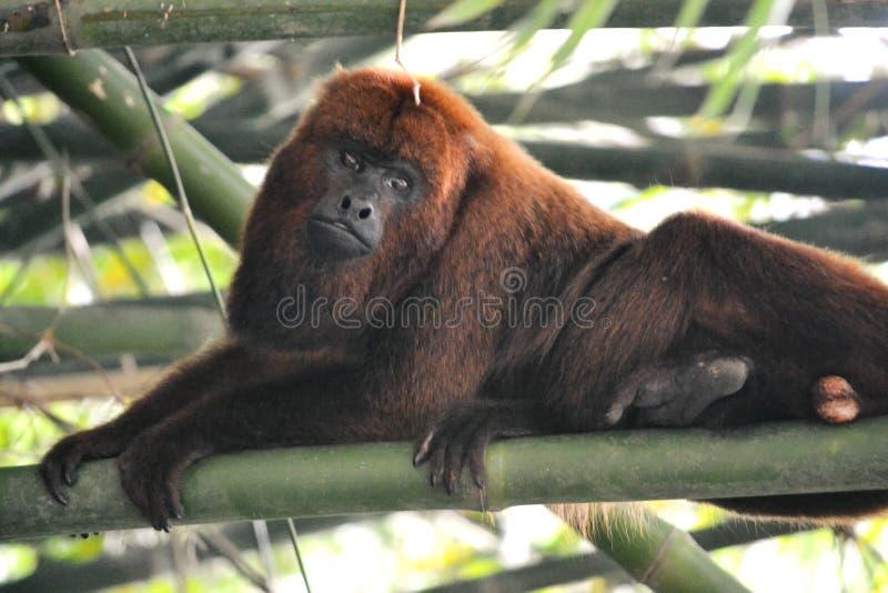 Zwarte Huileraap - Alouatta-caraya stock afbeeldingen