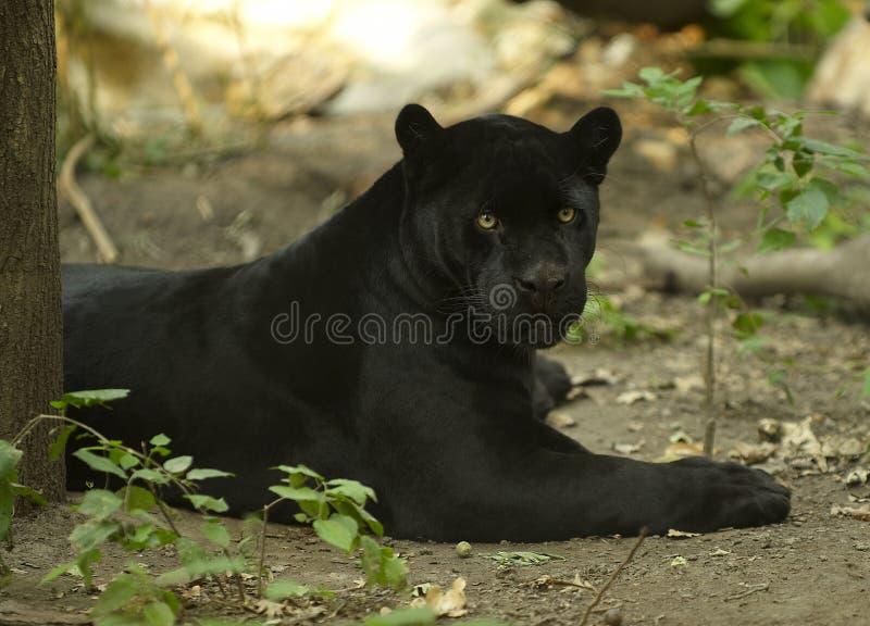 Zwarte Jaguar royalty-vrije stock afbeelding