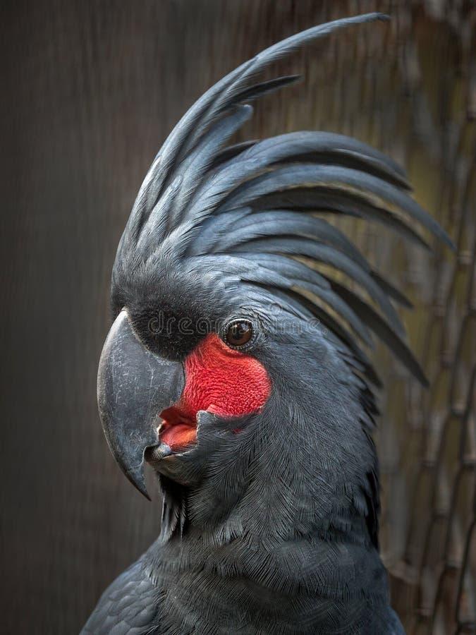 Zwarte Kaketoe royalty-vrije stock foto