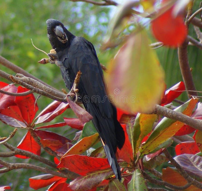 Zwarte Kaketoe op Kleurrijke Boom royalty-vrije stock afbeeldingen