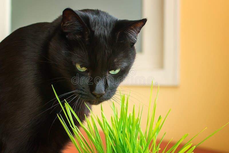 Zwarte kat die groen gras thuis eten Een huisdier eet haverspruiten Natuurlijke hairballbehandeling voor katten Zwarte kat met gr royalty-vrije stock fotografie
