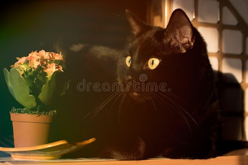 Zwarte kat en bloemen van Kalanchoe royalty-vrije stock afbeeldingen