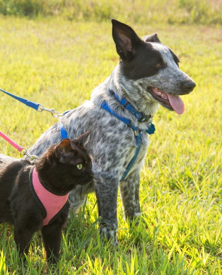 Zwarte kat en een bevlekte hond op leiband stock afbeeldingen