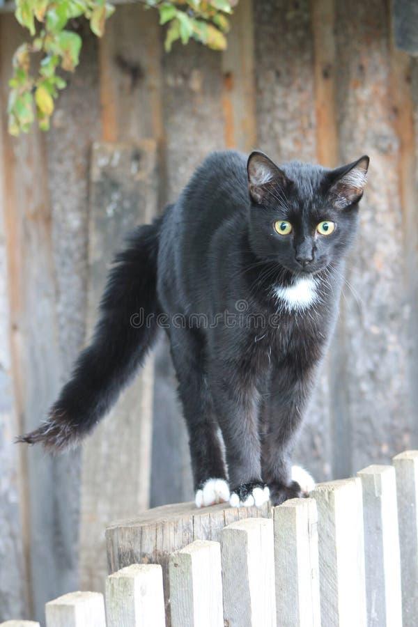 Zwarte kat Fillimon stock foto's