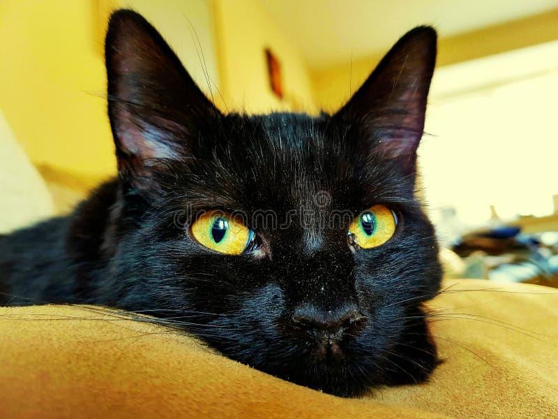Zwarte kat met grote Amberogen stock foto