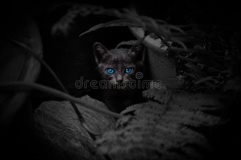 Zwarte kat met mooie blauwe ogen stock foto's