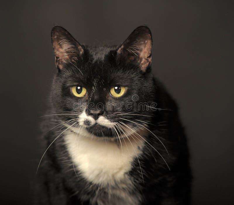 Zwarte kat met witte bakkebaarden stock afbeelding