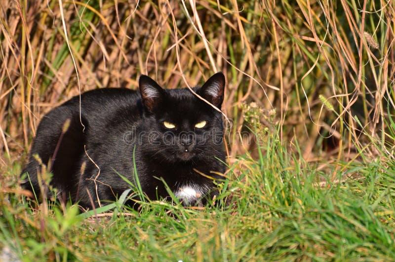 Zwarte kat op gras stock foto's