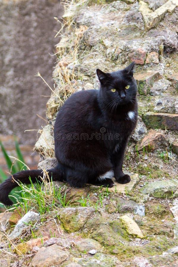 Zwarte kat in ruines bij de oude katten van Rome stock fotografie