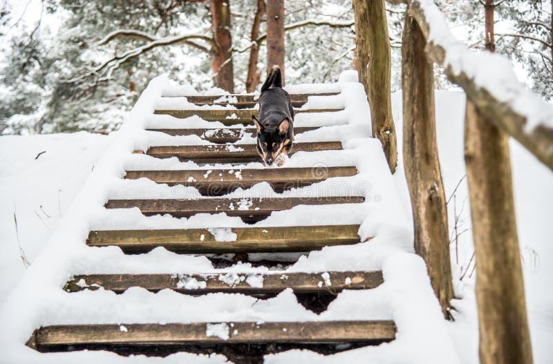 Zwarte kleine hond in de winter royalty-vrije stock afbeelding