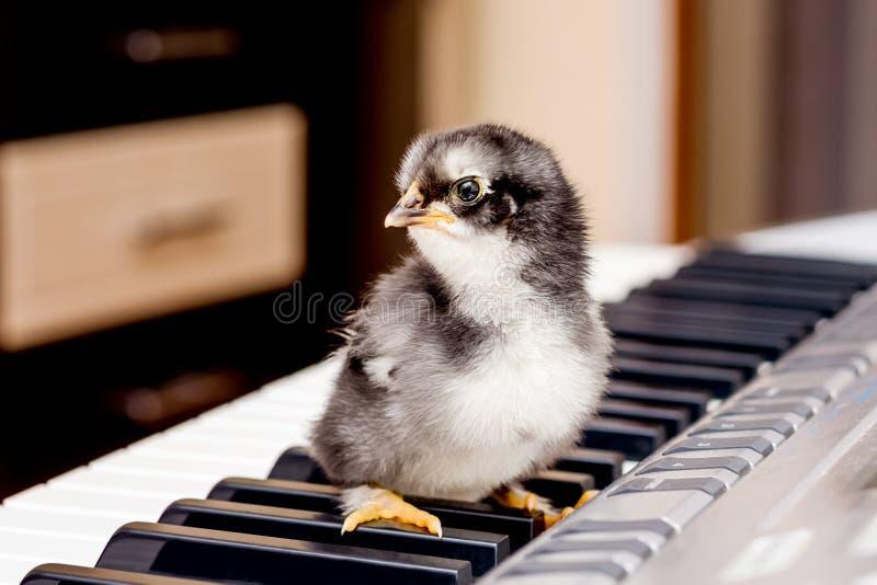 Zwarte kleine kip op de sleutels van de piano Eerste stappen i royalty-vrije stock afbeeldingen