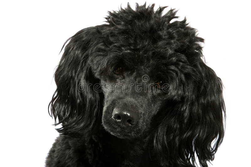 Zwarte kleine poedel stock afbeelding