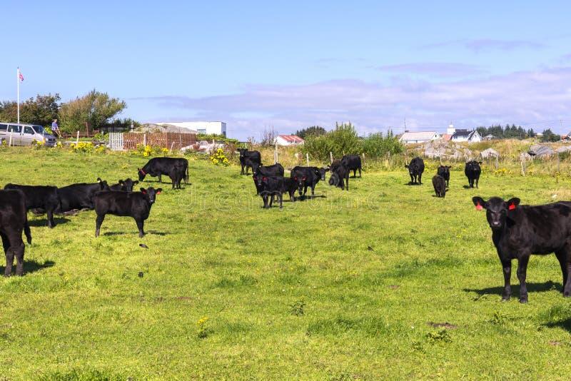 Zwarte koeien die in Haugesund weiden stock foto
