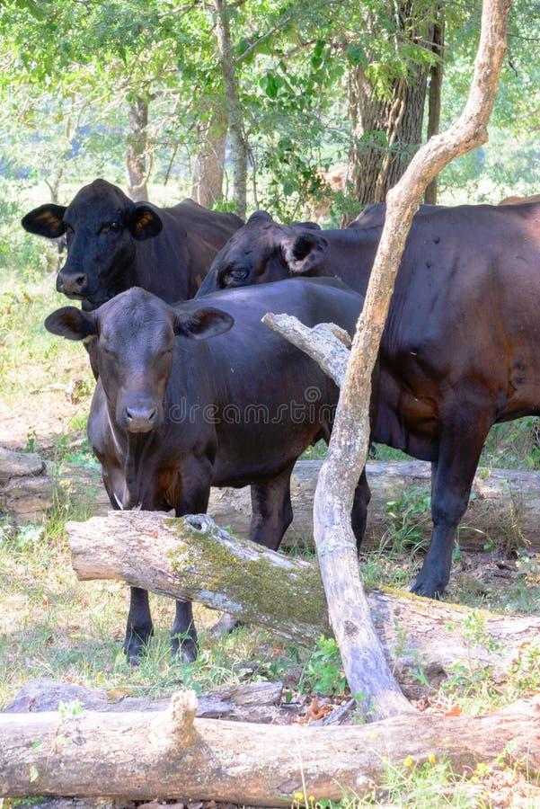 Zwarte koeien die op een boerderij met gras en bomen zwerven stock afbeelding