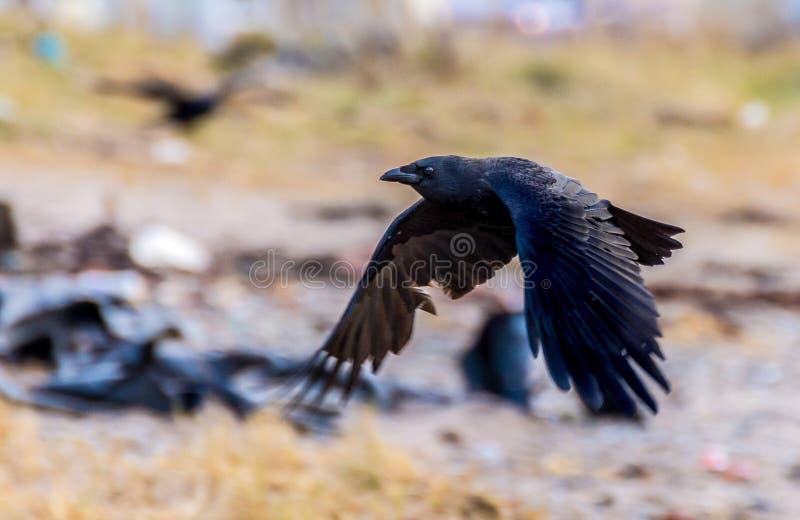 Zwarte Kraai die met vleugels in de benedenpositie vliegen stock foto's