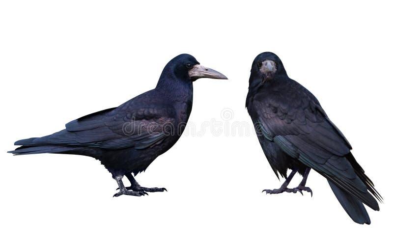 Zwarte Kraai Geïsoleerd op wit stock afbeelding