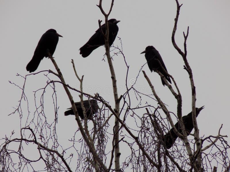 Zwarte kraaien op takken stock foto's