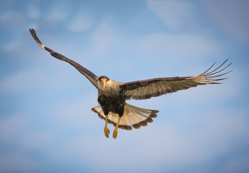 Zwarte kuifcaracara tijdens de vlucht over Pantanal, Brazilië royalty-vrije stock afbeelding