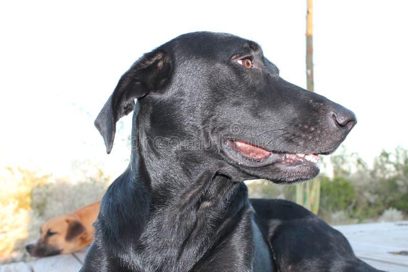 Zwarte laboratoriumhond die horloge houden stock foto's