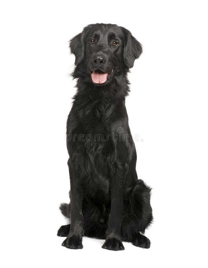 Zwarte Labrador (17 maanden) royalty-vrije stock afbeelding