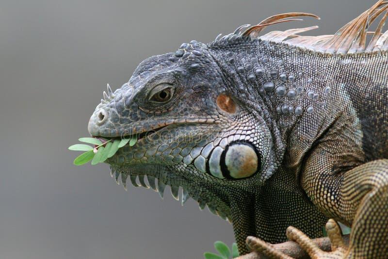 Zwarte Leguaan - Roatan, Honduras stock fotografie