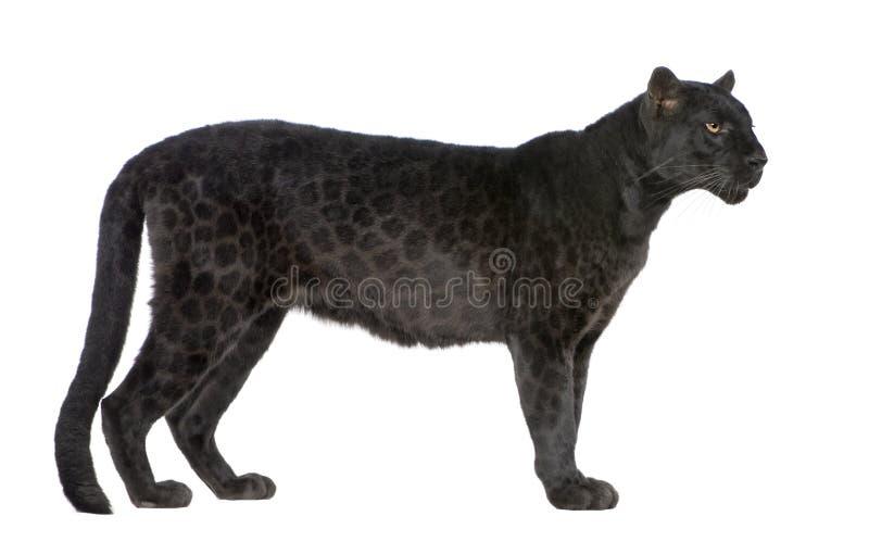 Zwarte Luipaard (6 jaar) stock afbeeldingen