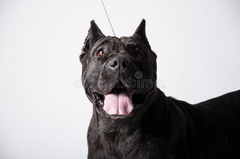 Zwarte mastiff die op wit wordt geïsoleerd stock foto