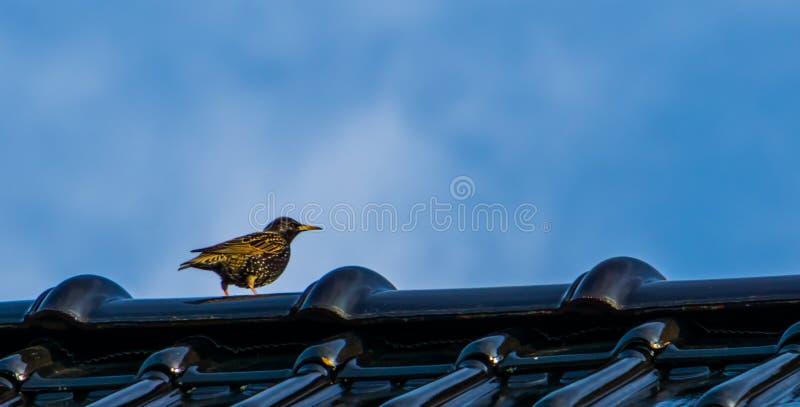Zwarte met gele starling zitting op een dak, gemeenschappelijke vogelspecies van Europa royalty-vrije stock foto's