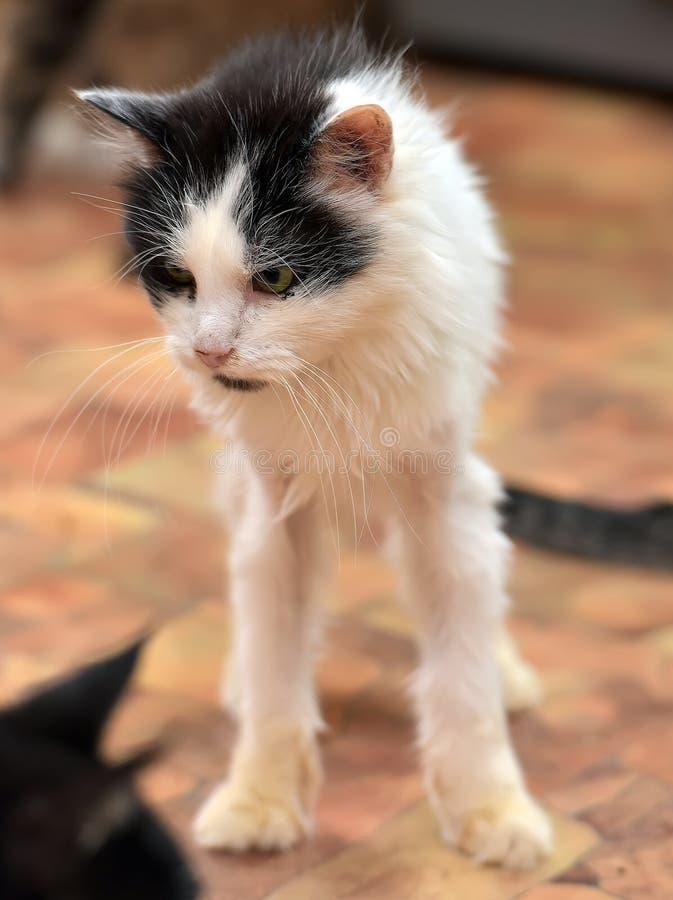 Zwarte met witte dunne pluizige kat stock fotografie