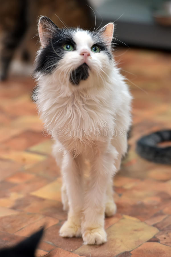 Zwarte met witte dunne pluizige kat royalty-vrije stock foto's