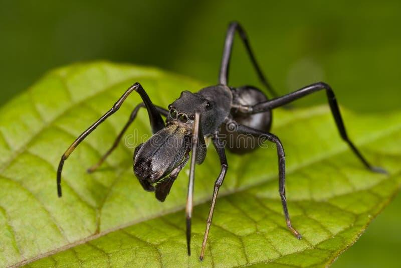 Zwarte mier mimische het springen spin, Myrmarachne stock afbeeldingen
