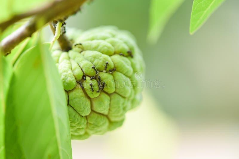 Zwarte mier op de suikerappel of vlaappel op boom op de de aard groene achtergrond van het tuin tropische fruit - Annona sweetsop stock afbeelding