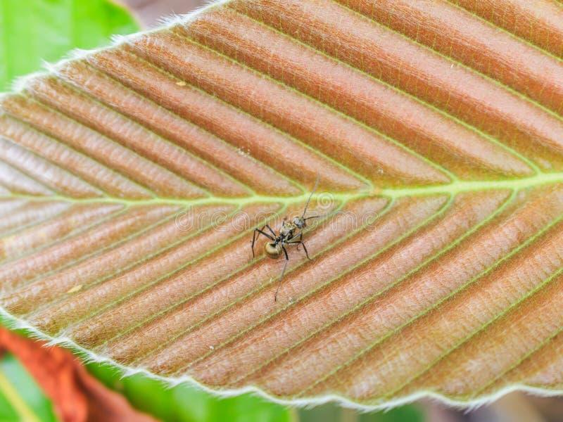 Zwarte mier op DIPTEROCARPACEAE-blad royalty-vrije stock foto's