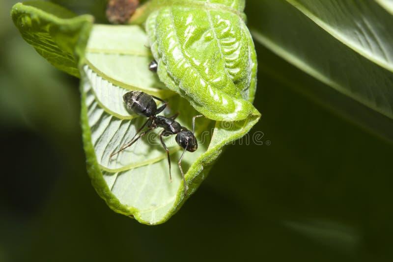 Zwarte Mier op een blad stock afbeeldingen