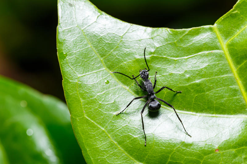 Zwarte mier op groen blad royalty-vrije stock foto's