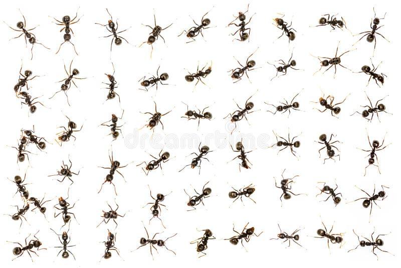 Zwarte mieren royalty-vrije stock foto's