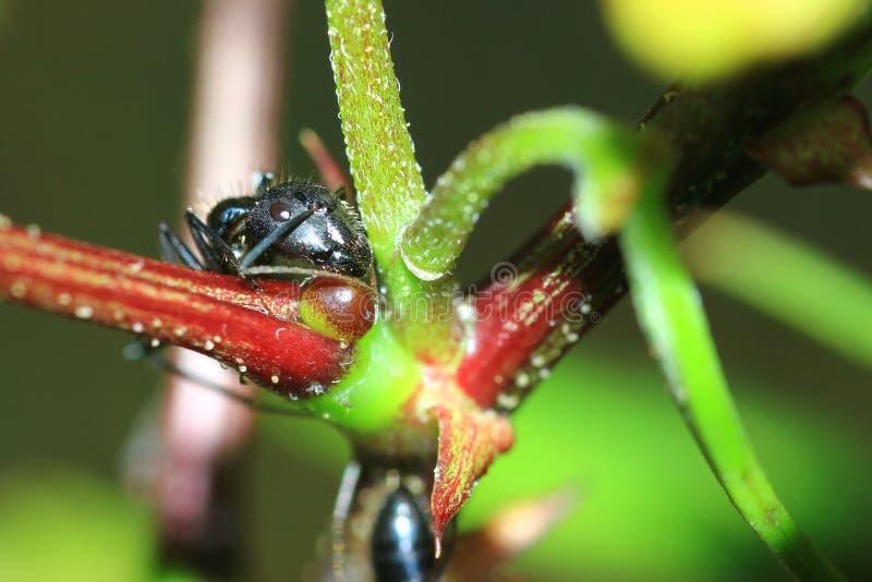 Zwarte mierenbidsprinkhanen stock afbeeldingen