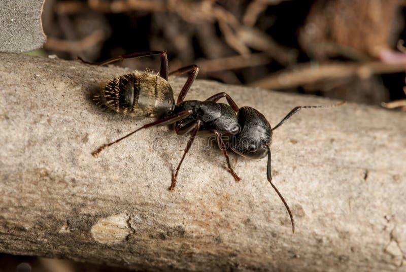 Zwarte mierenmacro royalty-vrije stock fotografie