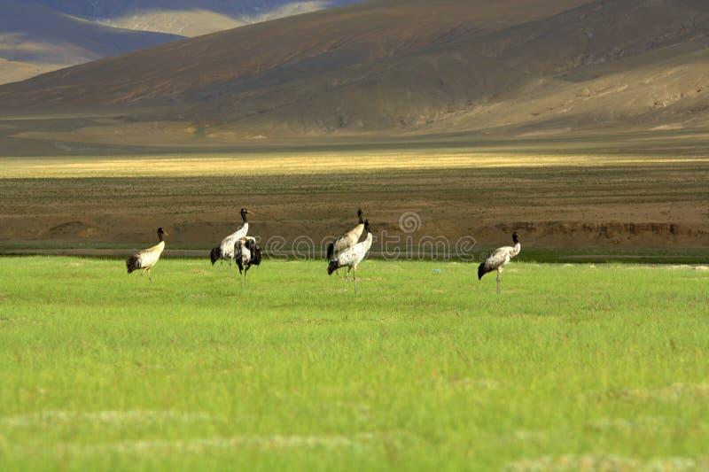 Zwarte necked crans in Ladakh royalty-vrije stock foto's