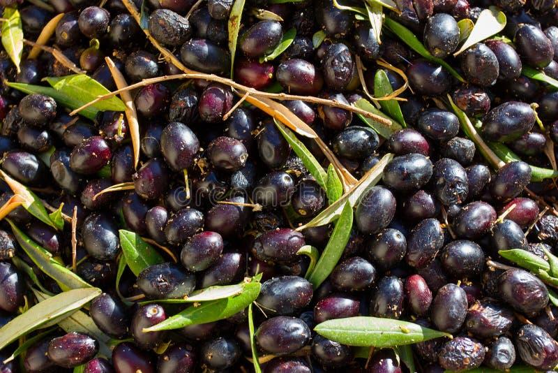 Zwarte olijvenoogst stock foto's