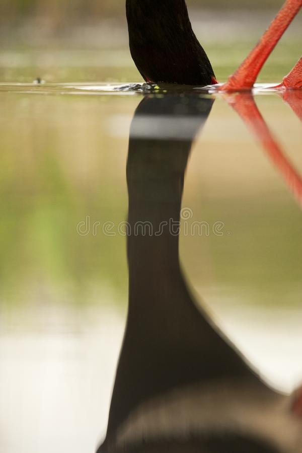 Zwarte Ooievaar, Black Stork, Ciconia nigra. Spiegelbeeld van een vis vangende Zwarte Ooievaar; Mirror image of a fishing Black Stork royalty free stock photos