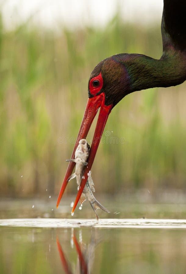 Zwarte Ooievaar, cicogna nera, nigra di Ciconia fotografia stock libera da diritti