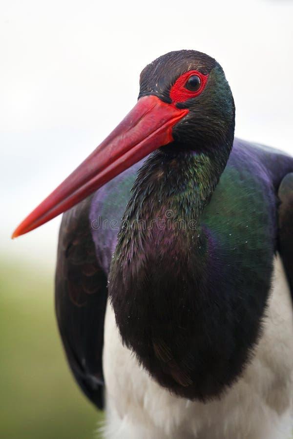Zwarte Ooievaar, cigüeña negra, nigra del Ciconia imagenes de archivo