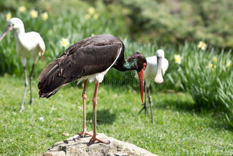 Download Zwarte Ooievaar En Spoonbills Stock Afbeelding - Afbeelding bestaande uit habitat, aves: 39110089