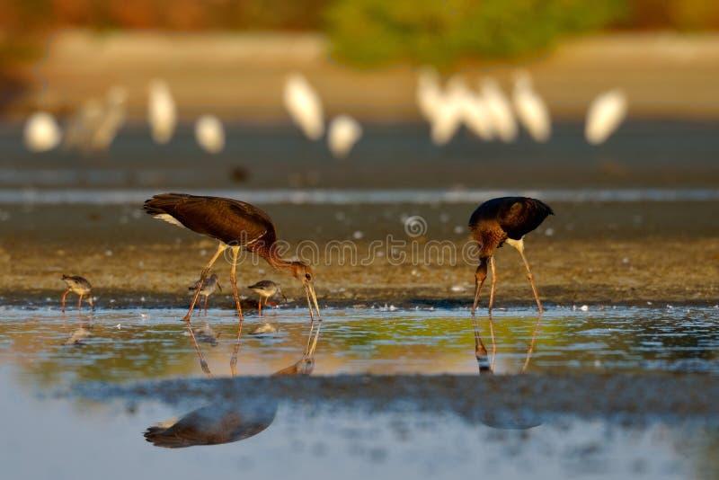 Zwarte Ooievaar in natuurlijke habitat - Ciconia-nigra royalty-vrije stock afbeelding