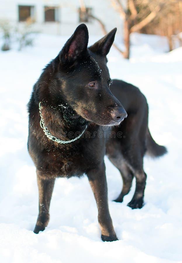 Zwarte Oosteuropese herder stock foto