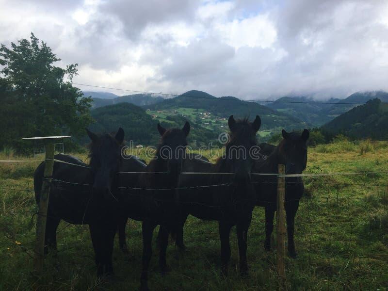 Zwarte paarden stock afbeeldingen