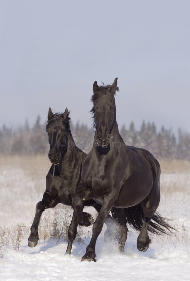 Zwarte paarden royalty-vrije stock afbeelding