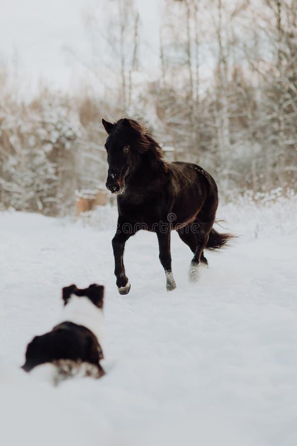 Zwarte paardtribune in de winter op de witte sneeuw in bos stock foto's